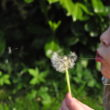 blowing-child-dandelion-790-828x550